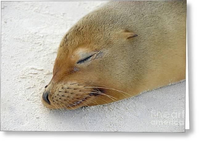 Galapagos Sea Lion Sleeping On Beach Greeting Card by Sami Sarkis