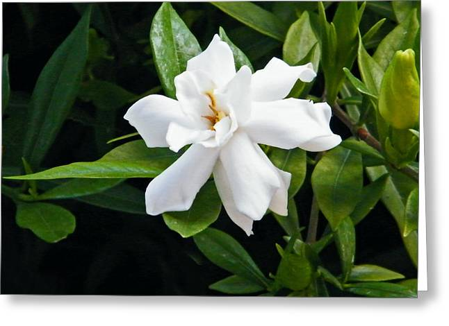 Greeting Card featuring the photograph Gardenia by Brian Wright