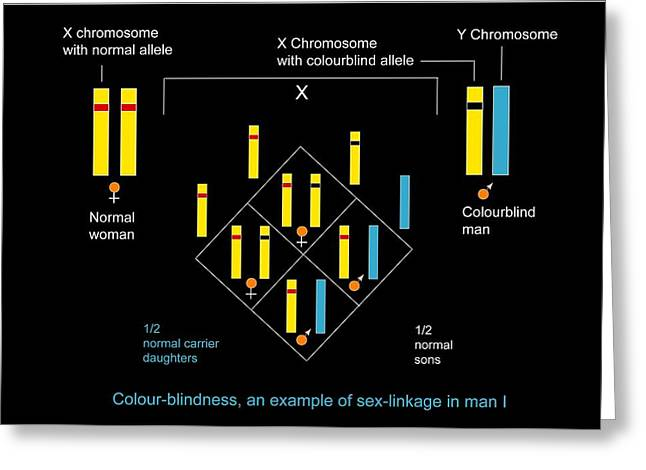Genetics Of Colour Blindness, Diagram Greeting Card by Francis Leroy, Biocosmos