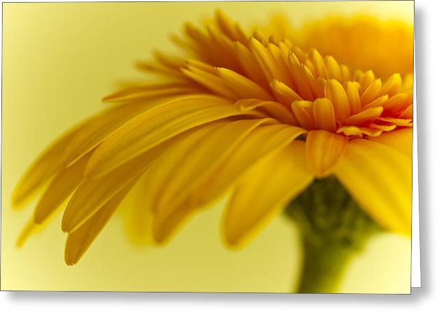 Gerbera Flower Greeting Card by Zoe Ferrie