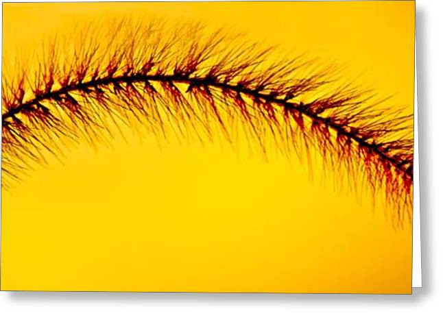 Giant Foxtail In Gold Greeting Card by Jim Finch