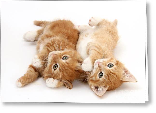 Ginger Kittens Greeting Card by Mark Taylor