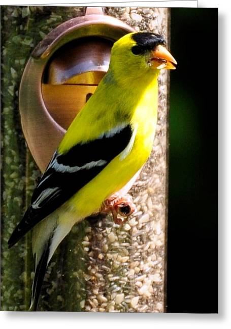 Golden Finch Greeting Card by Terri Albertson