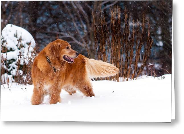 Golden Retriever In Snow Greeting Card by Matt Dobson