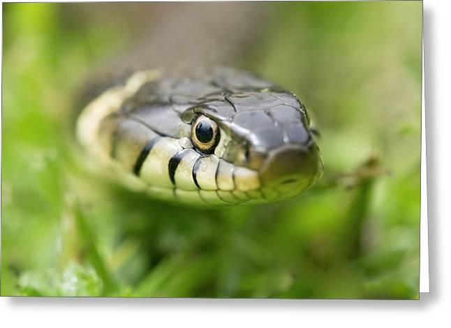 Grass Snake Greeting Card by Adrian Bicker