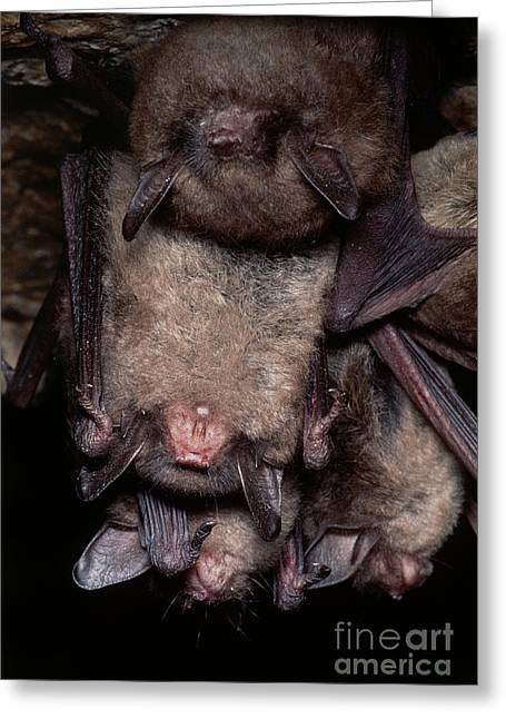 Gray Bats Greeting Card by Dante Fenolio