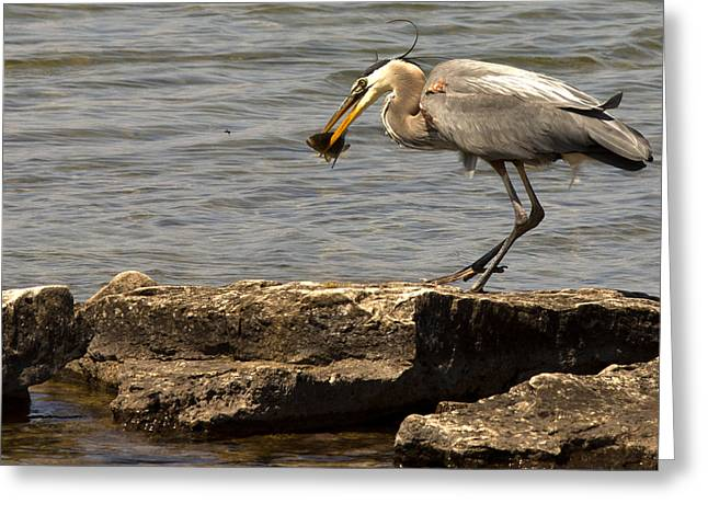 Great Blue Heron Greeting Card by Cale Best