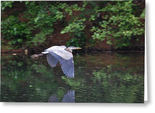 Great Blue Heron Flying Low Greeting Card