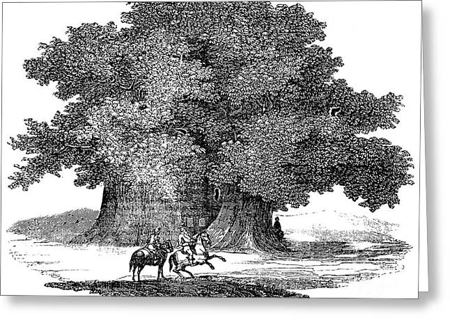 Great Chestnut Tree Greeting Card by Granger
