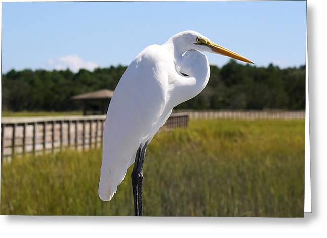 Great White Egret In The Marsh Greeting Card by Paulette Thomas