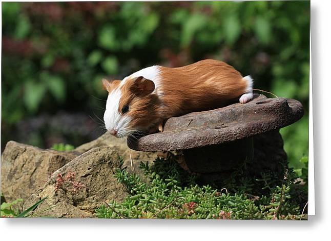 Guinea Pigs Greeting Card by Falko Follert