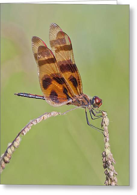 Halloween Pennant Dragonfly At Lacassine Greeting Card by Bonnie Barry