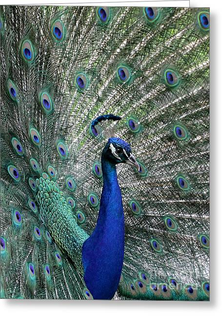 Handsome Peacock Greeting Card by Sabrina L Ryan