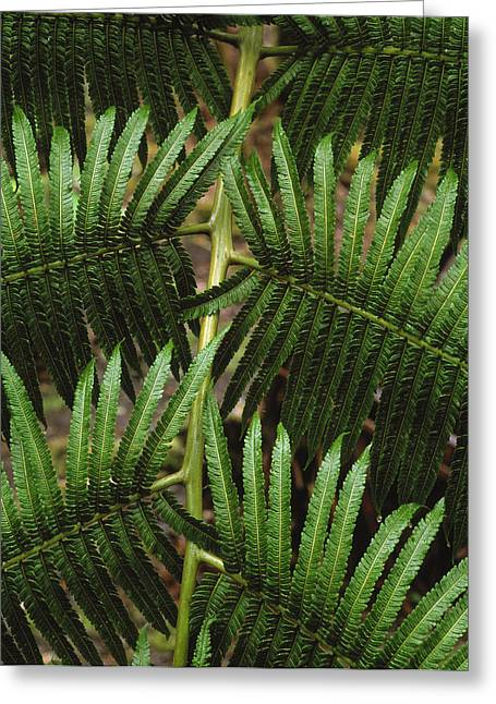 Hapu'u Fern Greeting Card by G. Brad Lewis