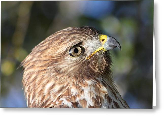 Greeting Card featuring the photograph Hawk At Viera by Jeanne Andrews