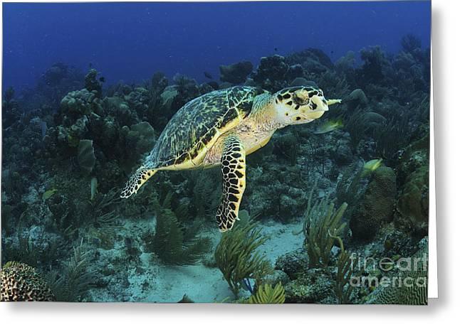 Hawksbill Turtle On Caribbean Reef Greeting Card by Karen Doody