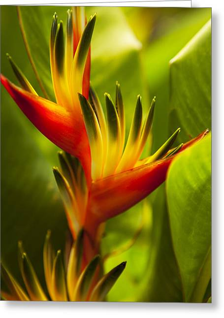 Heliconia Greeting Card by Dana Edmunds - Printscapes