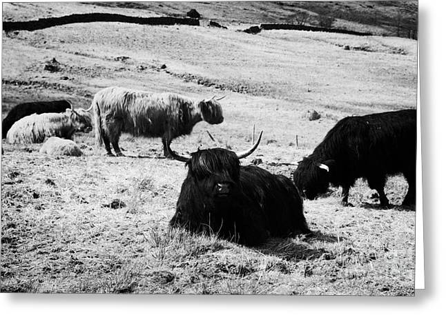 Herd Of Red And Black Highland Cattle Glencoe Highlands Scotland Uk Greeting Card