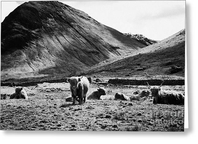 Herd Of Red Highland Cattle Glencoe Highlands Scotland Uk Greeting Card