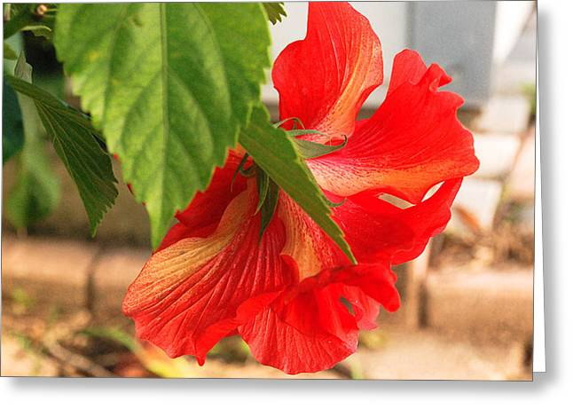 Hibiscus From Behind Greeting Card by Diane Bell