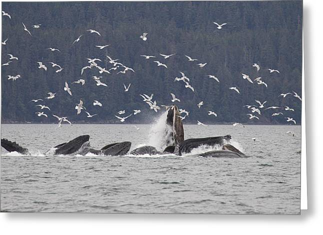Humpback Whale Megaptera Novaeangliae Greeting Card
