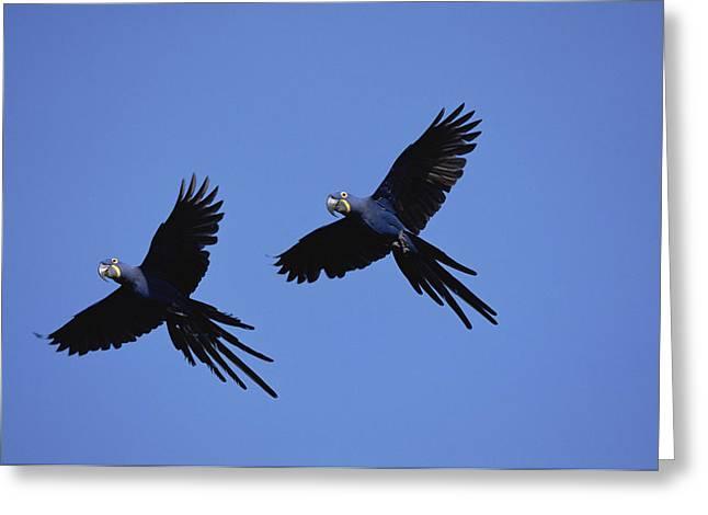 Hyacinth Macaw Anodorhynchus Greeting Card