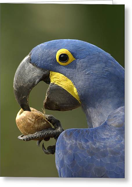 Hyacinth Macaw Anodorhynchus Greeting Card by Pete Oxford