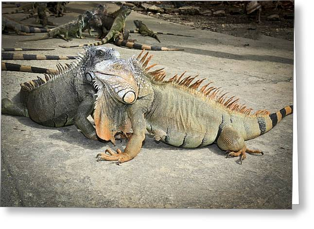 Greeting Card featuring the photograph Iguana Family by Nick Mares