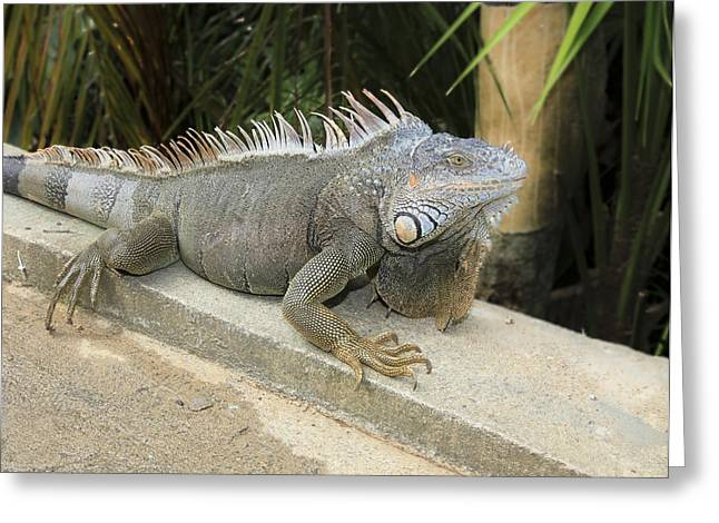 Greeting Card featuring the photograph Iguana by Nick Mares