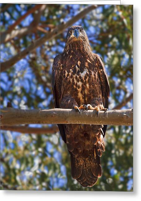 Immature Bald Eagle Greeting Card by Beth Sargent