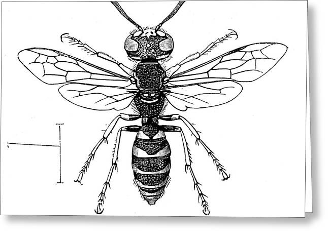 Insects: Wasps Greeting Card by Granger