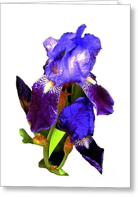 Iris On White Greeting Card by Dale   Ford