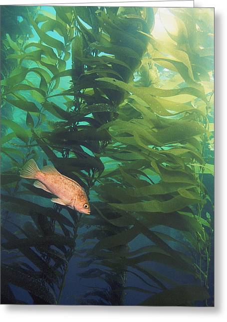Island Kelpfish Greeting Card by Georgette Douwma