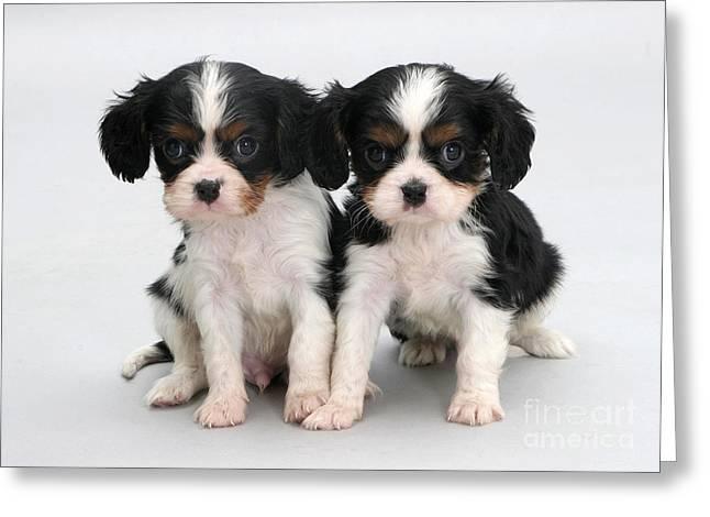 King Charles Spaniel Puppies Greeting Card by Jane Burton