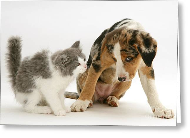 Kitten And Border Collie Puppy Greeting Card