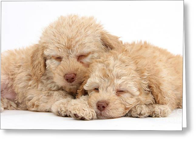 Labradoodle Puppies Greeting Card by Mark Taylor