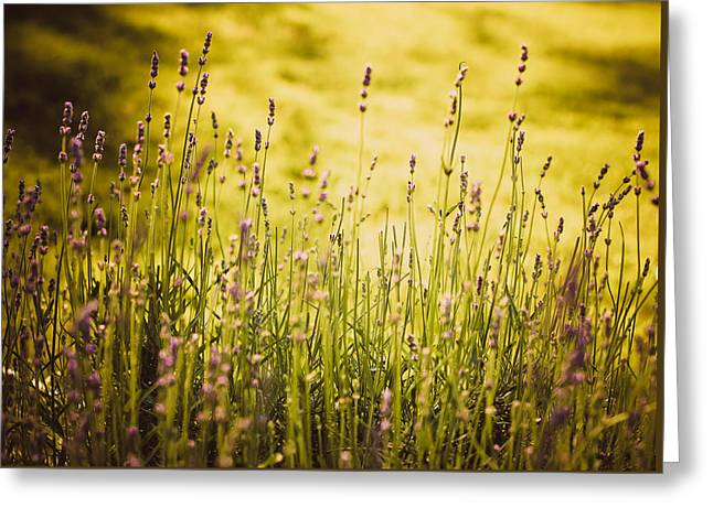 Greeting Card featuring the photograph Lavender Gold by Sara Frank