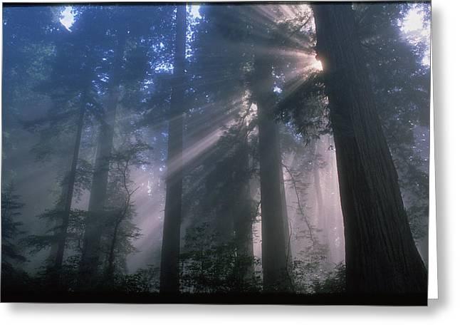 Light Coming Through Redwood Trees. Greeting Card