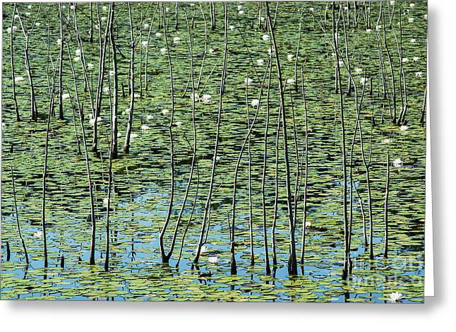 Lilly Pond Greeting Card by John Greim