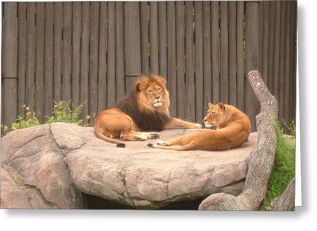 Lions - The Happy Couple Relaxing - Cleveland Metro Zoo 1 Greeting Card by S Taylor