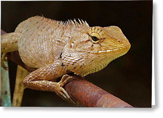 Greeting Card featuring the photograph Lizard by Arik S Mintorogo