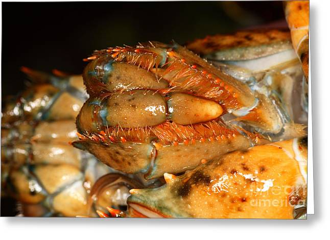 Lobster Mouth Greeting Card by Ted Kinsman