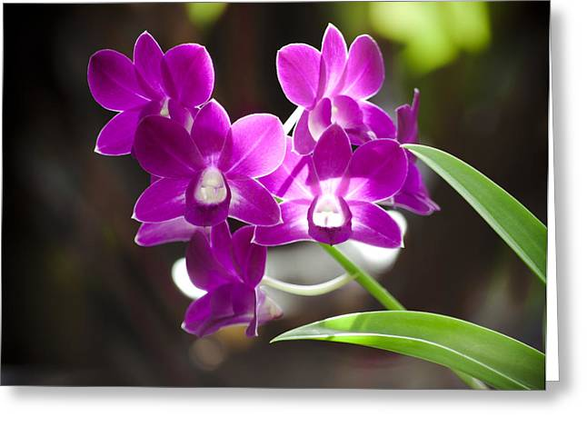 Magenta Orchids Greeting Card