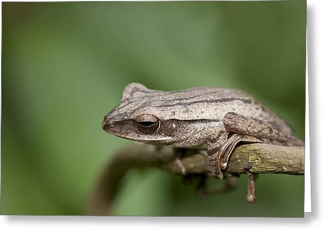 Malaysia Frog Greeting Card by Zoe Ferrie