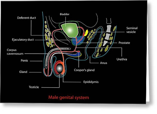 Male Genitourinary System, Artwork Greeting Card