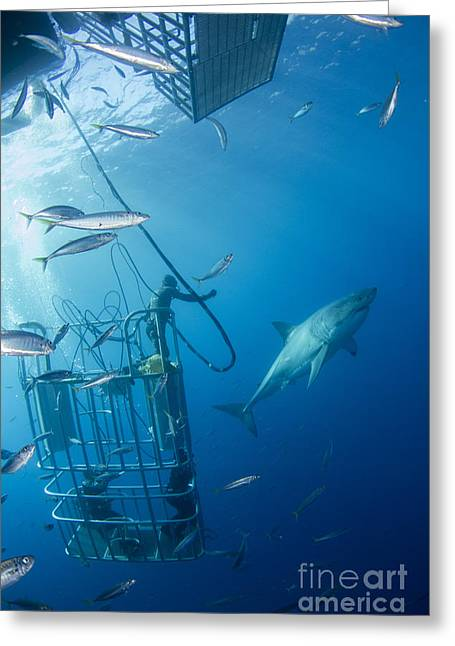 Male Great White Shark And Divers Greeting Card by Todd Winner