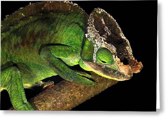 Male Parson's Chameleon Greeting Card by Alexis Rosenfeld