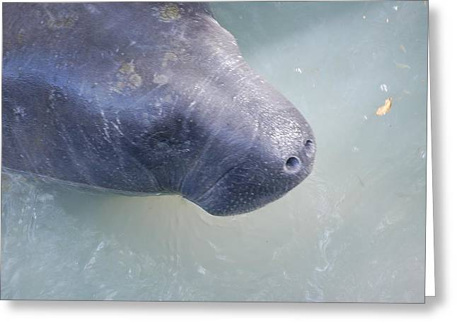 Manatee Greeting Card