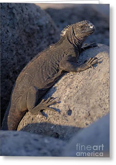 Marine Iguana On Rock Greeting Card by Sami Sarkis