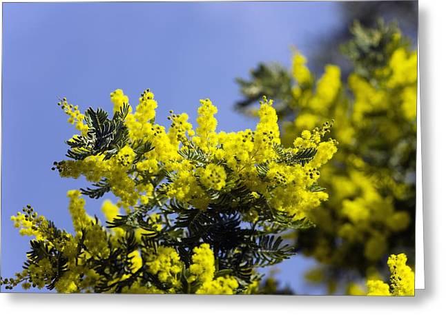 Mimosa (acacia Dealbata Subalpina) Greeting Card by Dr Keith Wheeler